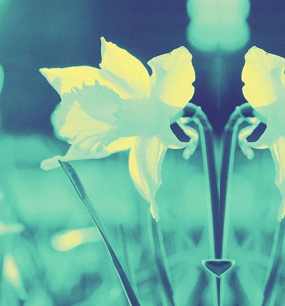 Best Classical Easter Music - daffodils photo
